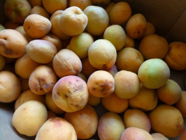 Aprikosen aus dem Wallis